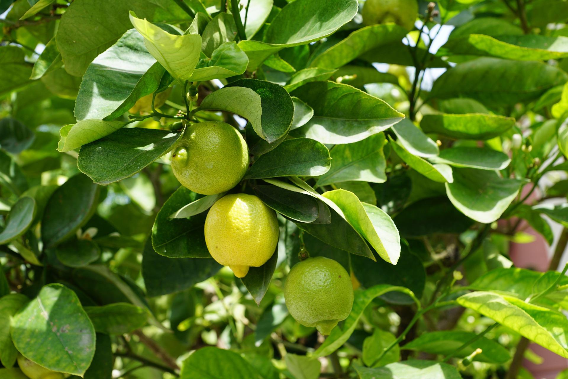 Как вырастить лимонное дерево дома из косточки и саженца