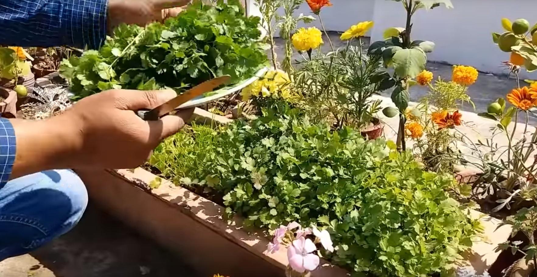 Сбор первого урожая листьев кинзы.