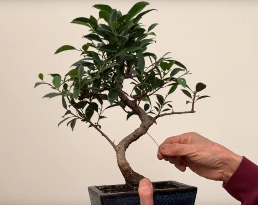 Дерево из фикуса микрокарпа.