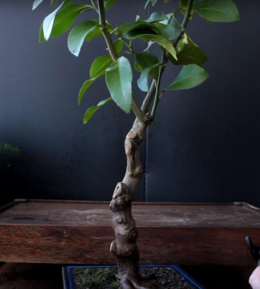 Карликовое дерево лимона.
