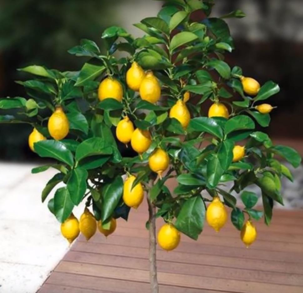 Лимон бонсай.