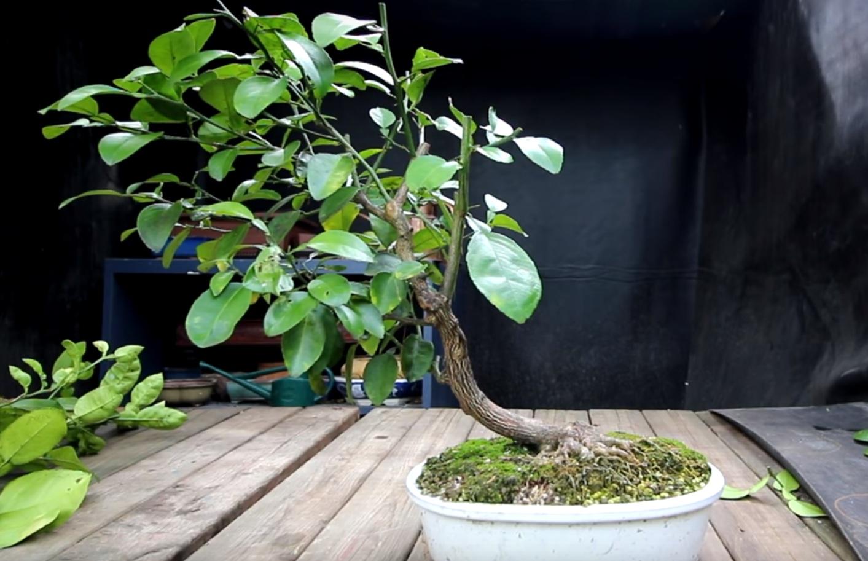 Наклонный бонсай из лимонного дерева.