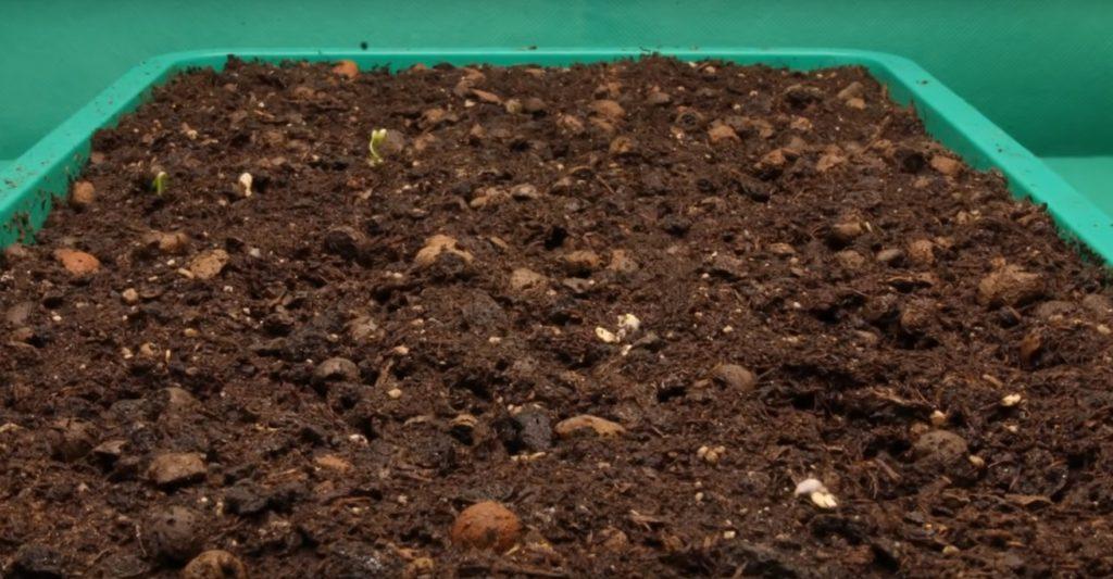 Первые ростки перца.