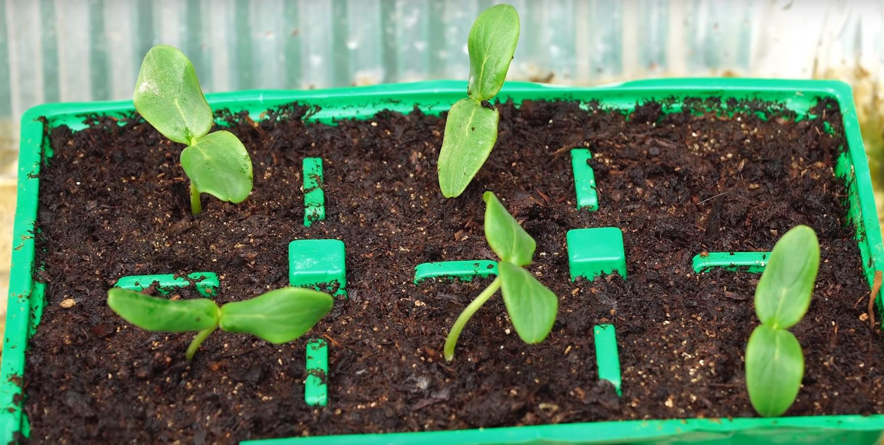 Проращивание рассады в теплице.