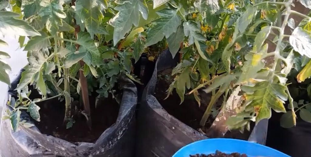 Взрослые кусты помидоров.Взрослые кусты помидоров.
