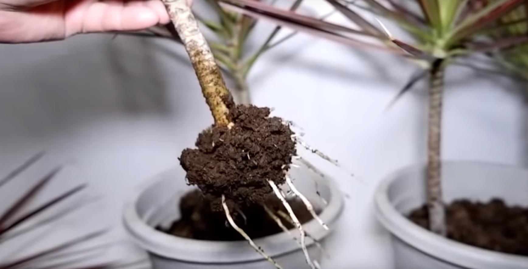 Корневая система молодого растения.