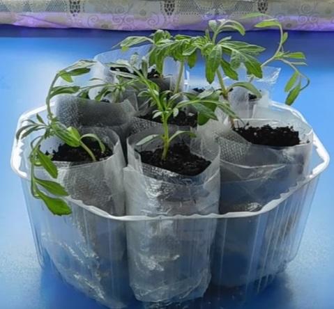 Проращивание семян рассады в улитке.