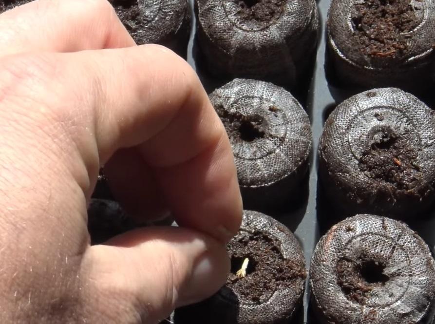 Посадка семян в торфяные таблетки.