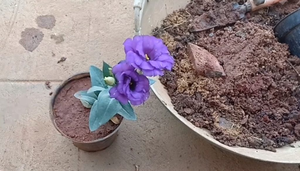 Небольшой цветок эустомы.