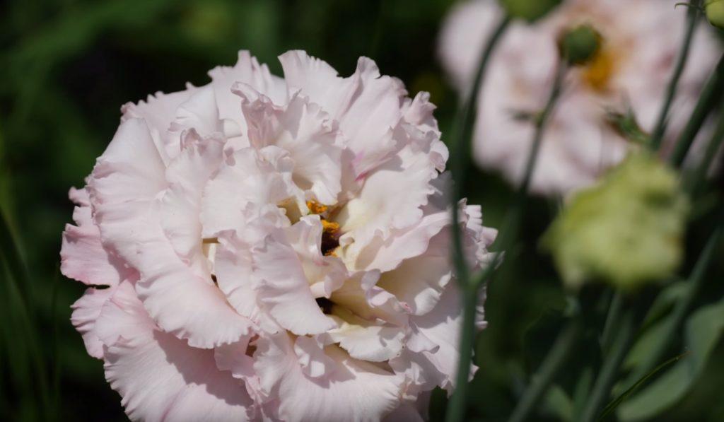 Розовый цветок эустомы.