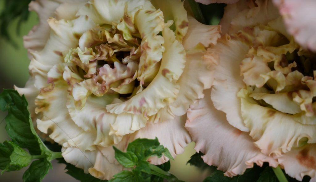 Цветы эустомы крупным планом.