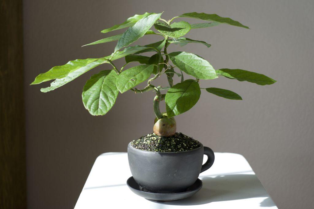 дерево авокадо бонсай