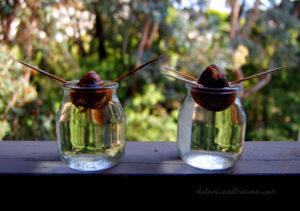 проращивание авокадо в домашних условиях из косточки