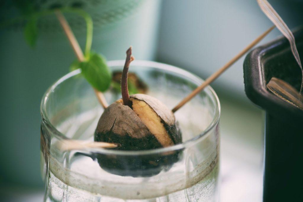 фото растения авокадо в домашних условиях