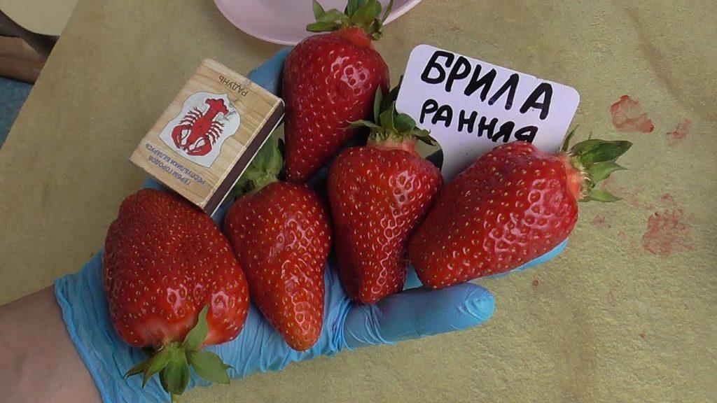 Сорт клубники Брилла