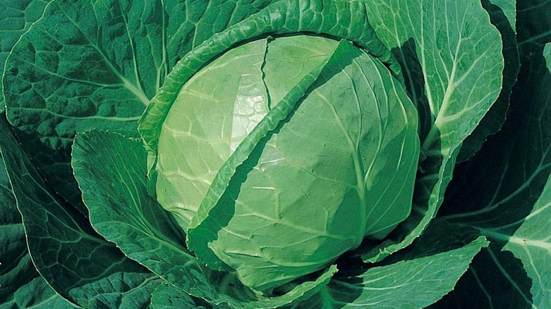 Землячка сорт белокочанной капусты