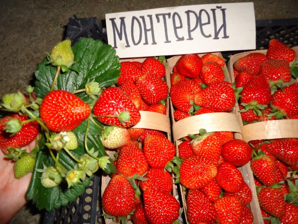 Сорт клубники Монтерей
