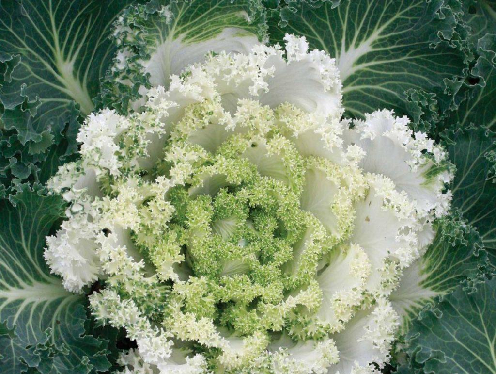 Декоративная капуста Снежная Королева