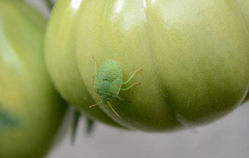 Опасные вредители на помидорах