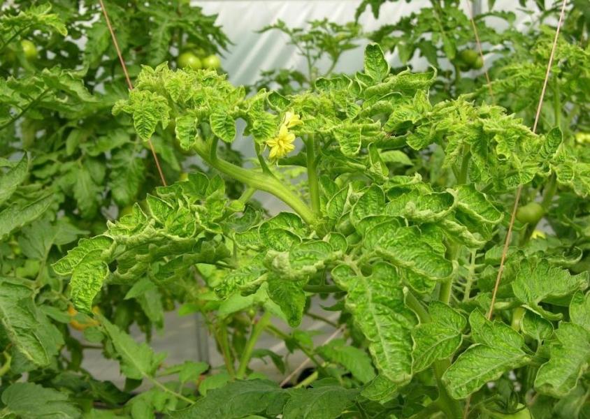 Курчавость листвы у томата