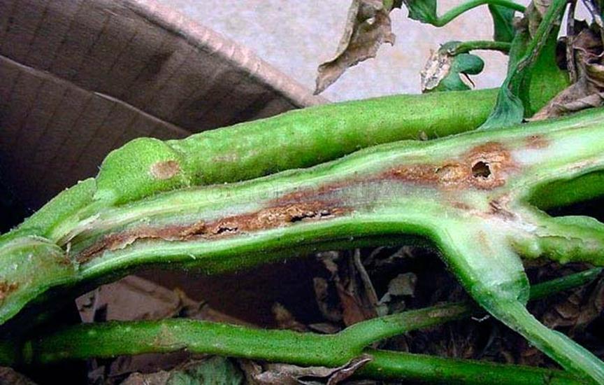 Некроз стеблей куста томата