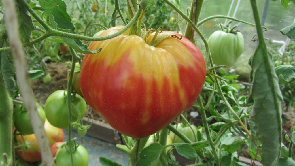 Пятно желтого или зеленого цвета возле плодоножки томатов