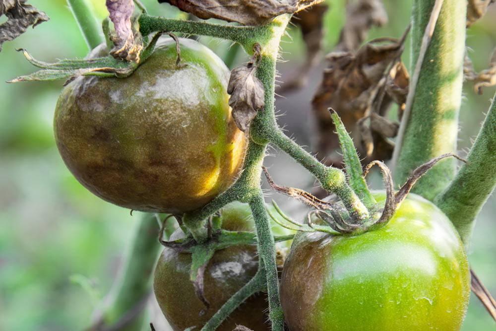 Фитофтороз плодов помидора