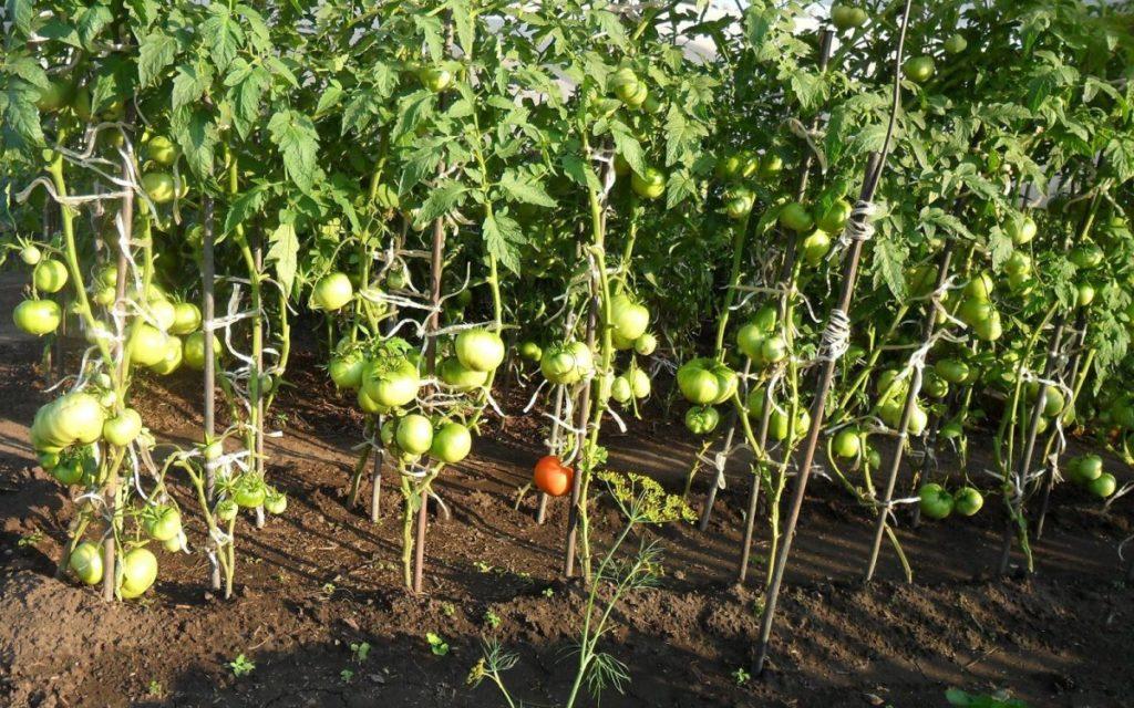 Внесение удобрений для взрослых растений