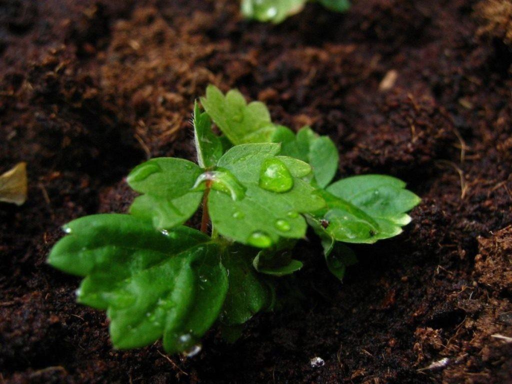 Высевание семян клубники