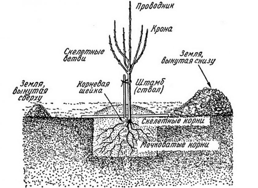 Сроки посадки саженцев