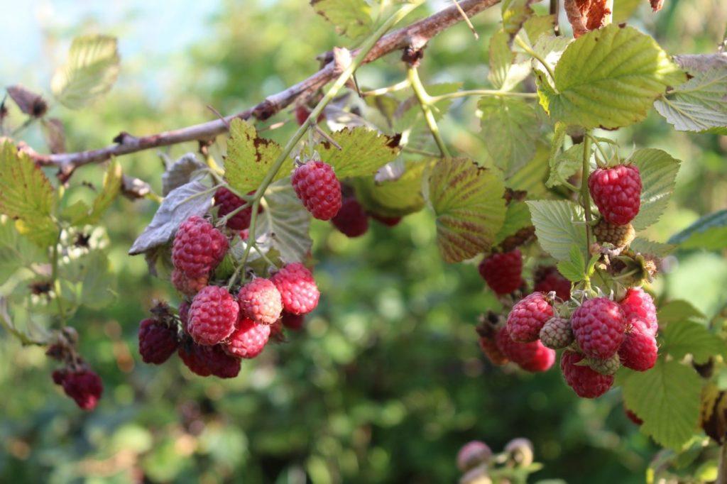 Осенняя подкормка малины