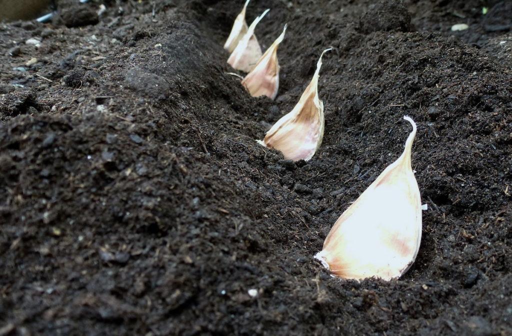 Сроки посадки чеснока под зиму.