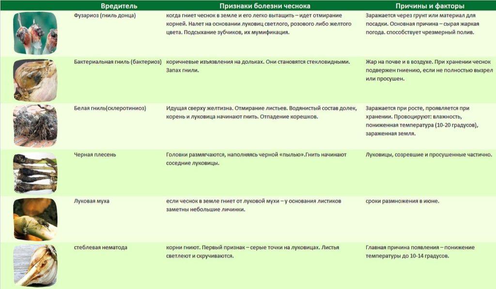 Вредители и болезни чеснока