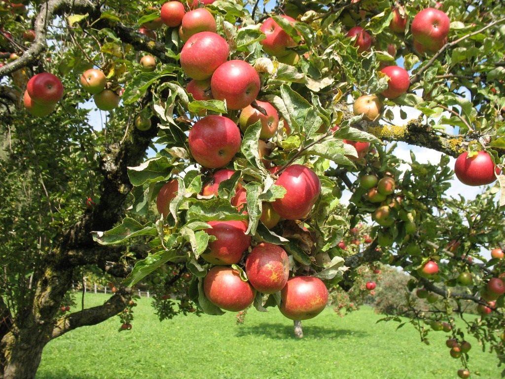 Как сажать яблони.