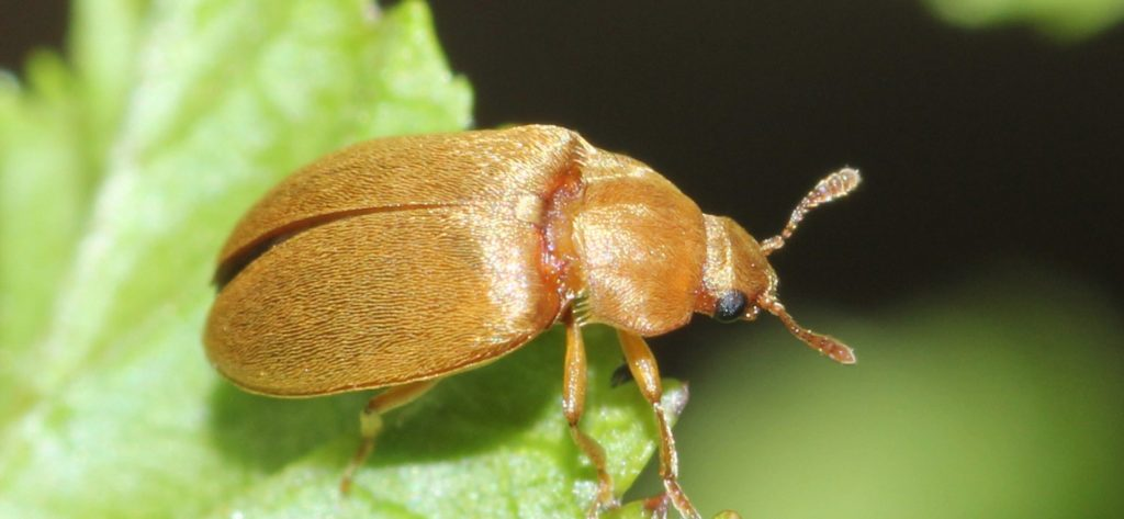 Малинный жук.