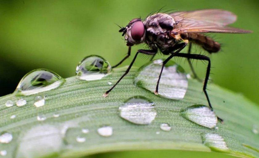 Малинная стеблевая муха.