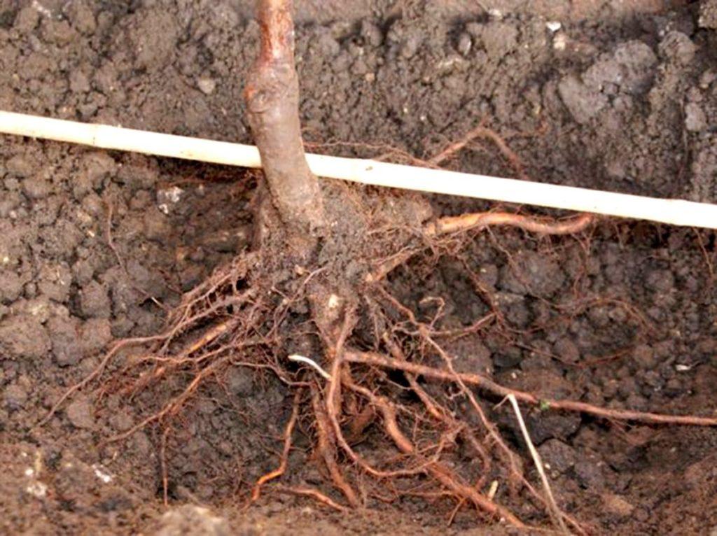 Повреждение корней малины.