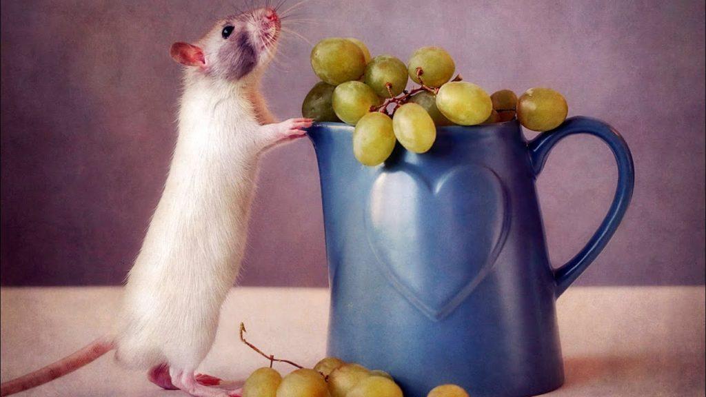 Виноградные грызуны.