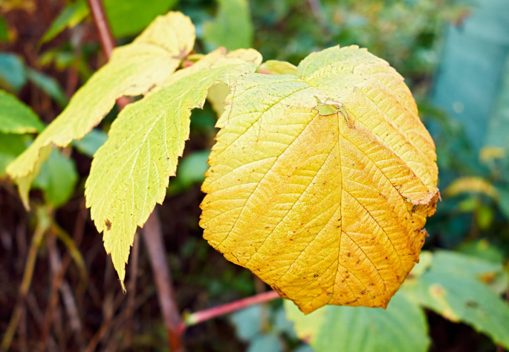 Желтеют листья у малины.