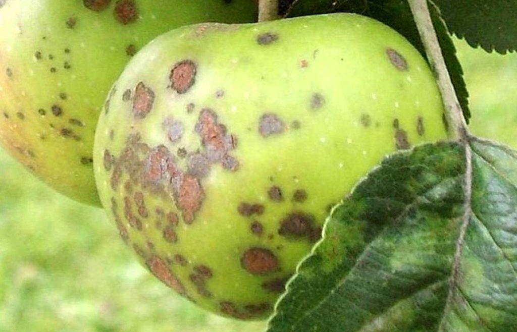 Парша на яблоне.