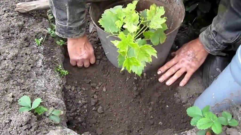 Выбор времени для посадки винограда.