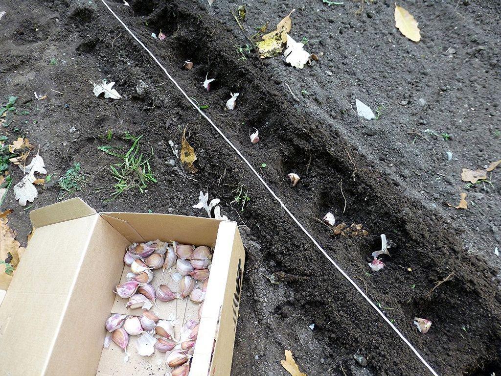 Посадка ярового чеснока в открытый грунт.