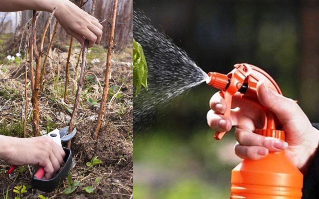 Обработка малины от вредителей.