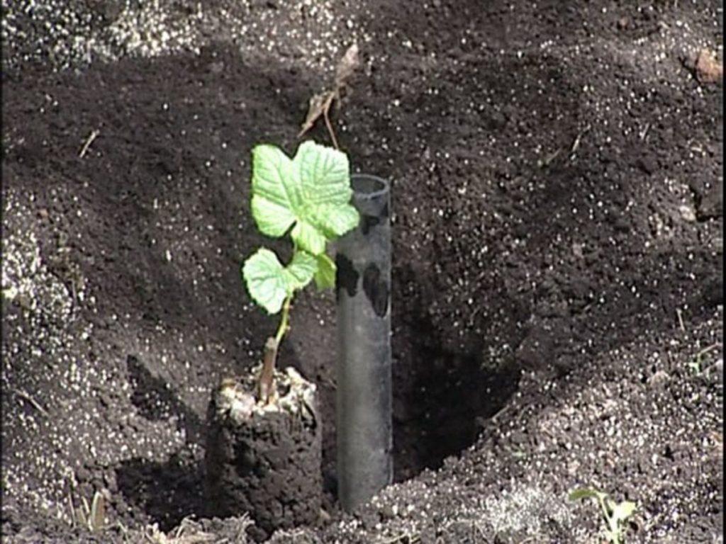 Посадка саженца винограда в подготовленную почву.