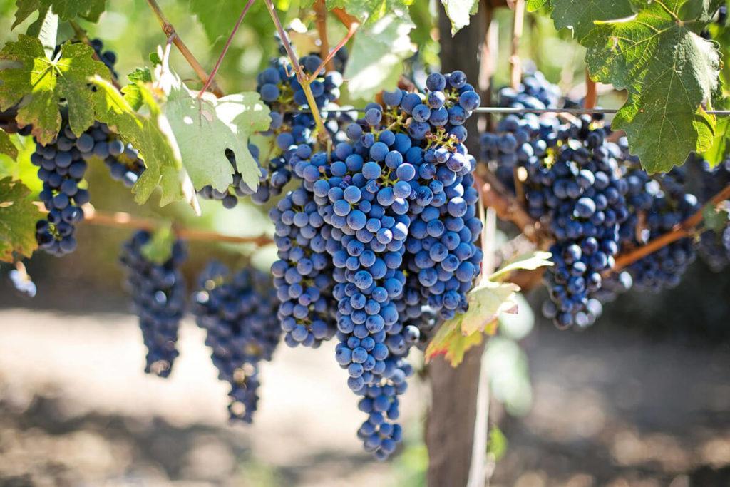 Профилактические меры для предупреждения заболеваний винограда и от вредителей