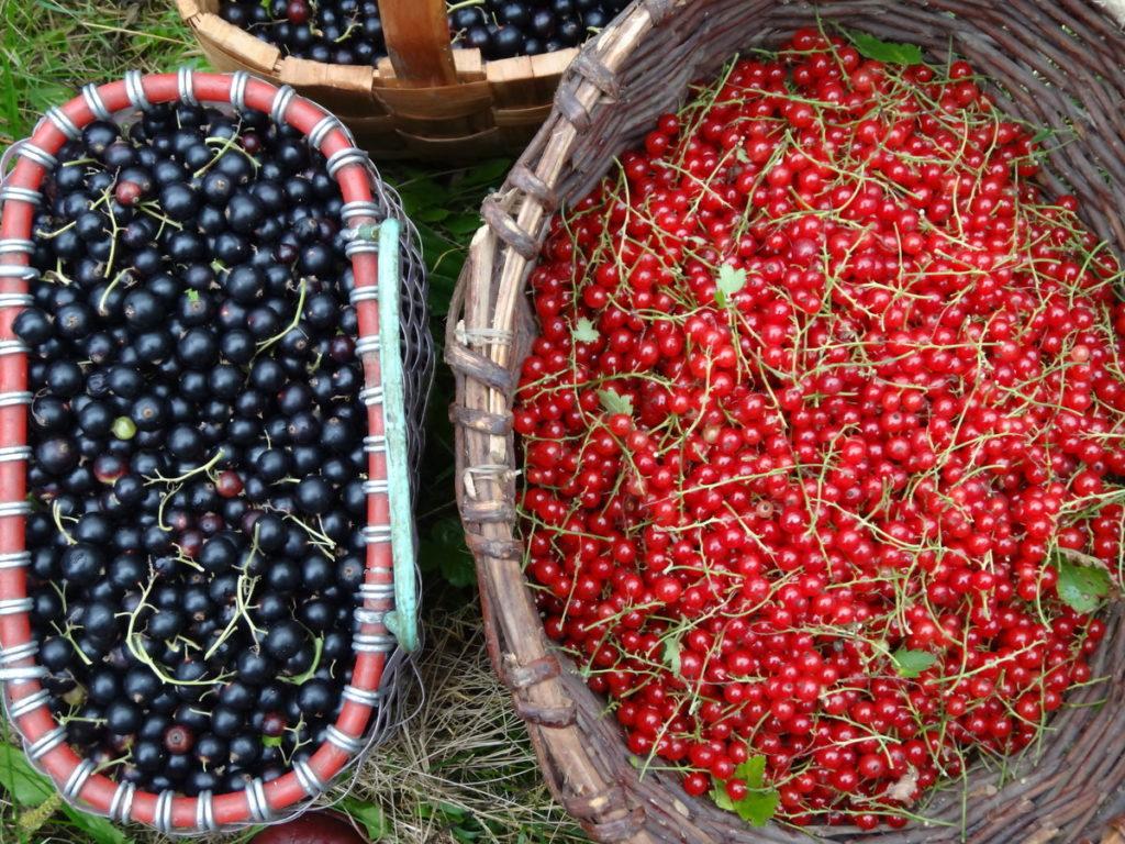 Сбор урожая смородины.