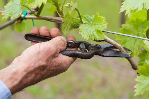Как проводить чеканку побегов винограда.