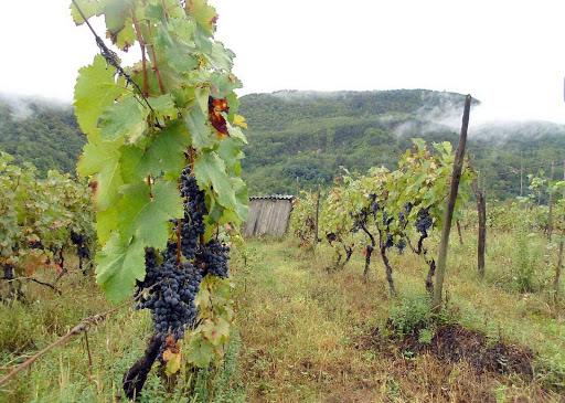Подготовка ям или траншей для посадки саженцев винограда.