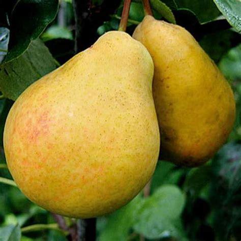 Плоды груши.