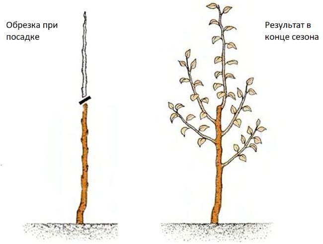 Обрезка дерева груши.